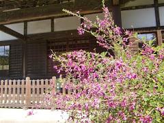 浄光明寺のハギ
