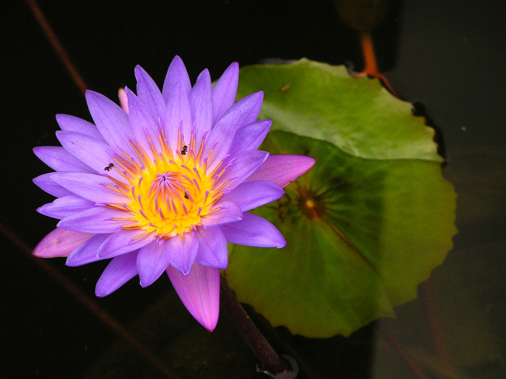 Purple Lotus Flower Flower Hd Wallpapers Images Pictures