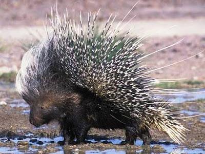 African-Porcupine-Raised-Quills