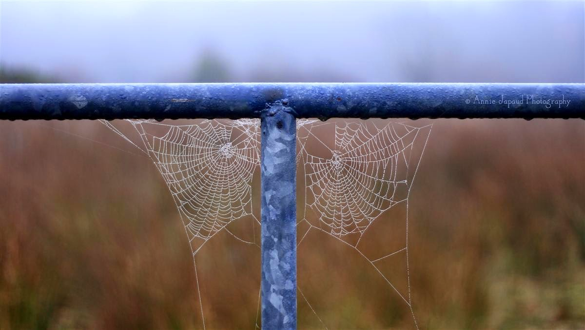 two cobwebs on a gate