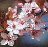 Alicia Talaya Teràpies - Flors de Bach - Cherry Plum