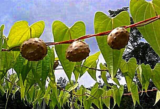 Kenali buah-buahan tempatan yang jarang dilihat ini. Ianya menarik dan unik
