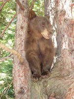 "Tranquilized bear called ""Cloud"" falls out of tree, has to be euthanized"