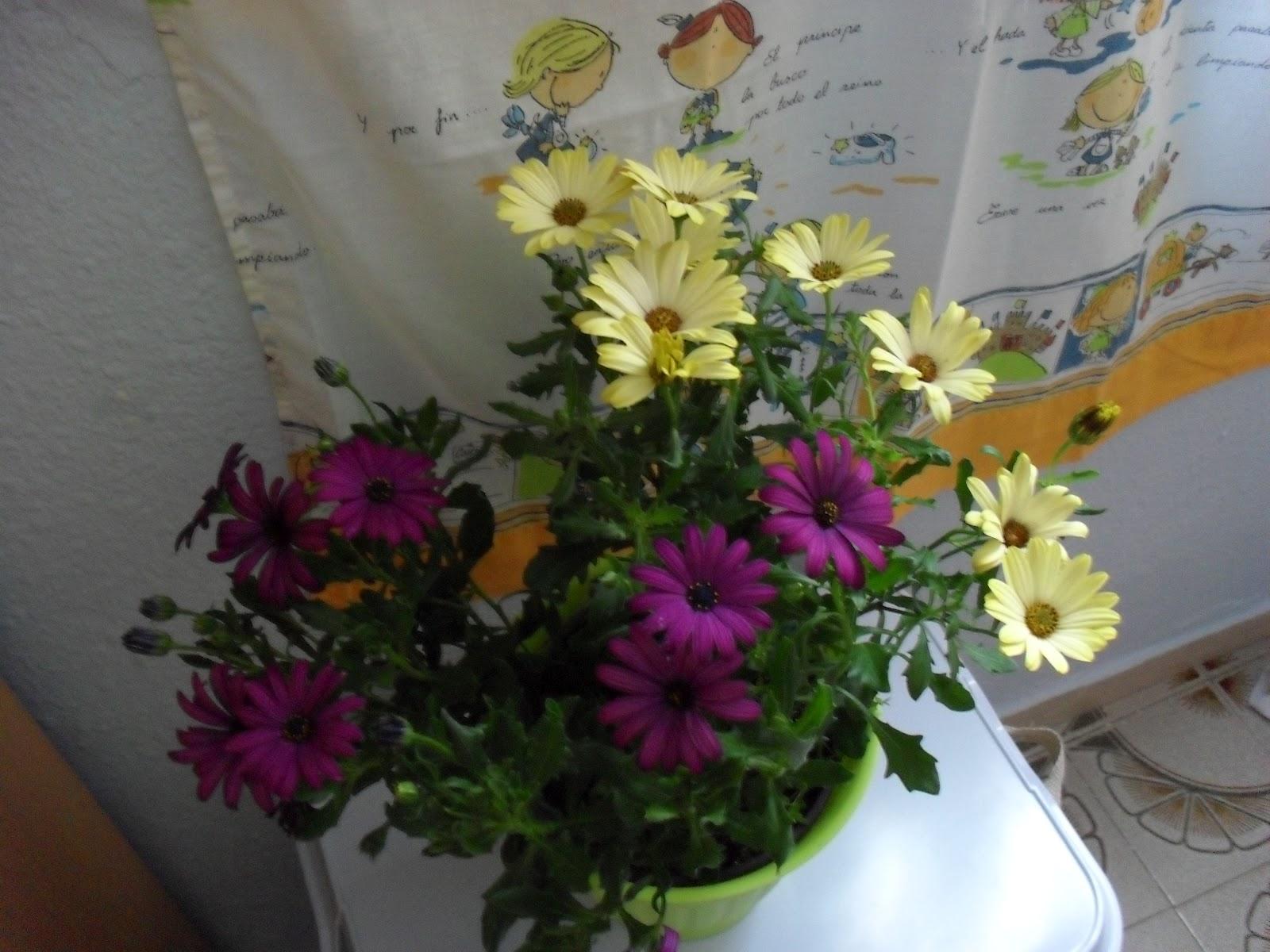 Tercera eposha plantas de exterior margaritas amarillas for Plantas para interior y exterior