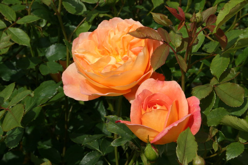 lady of shalott rose - photo #20