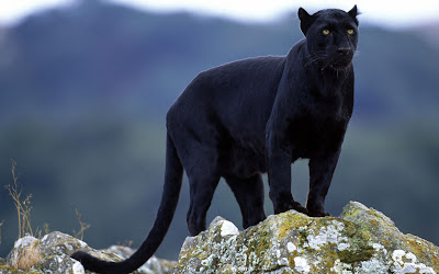 Animals Black Panther Background Wallpaper