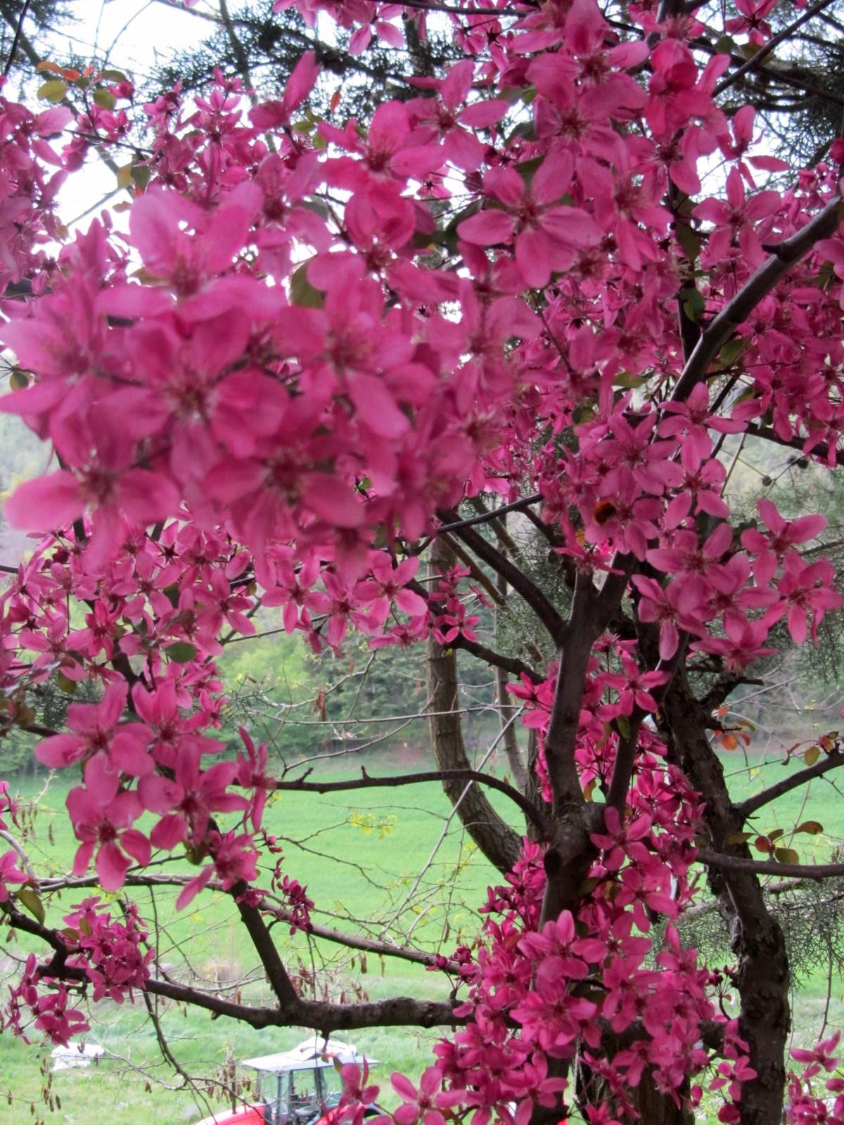 Alberi da giardino fioriti bel design - Alberelli da giardino ...