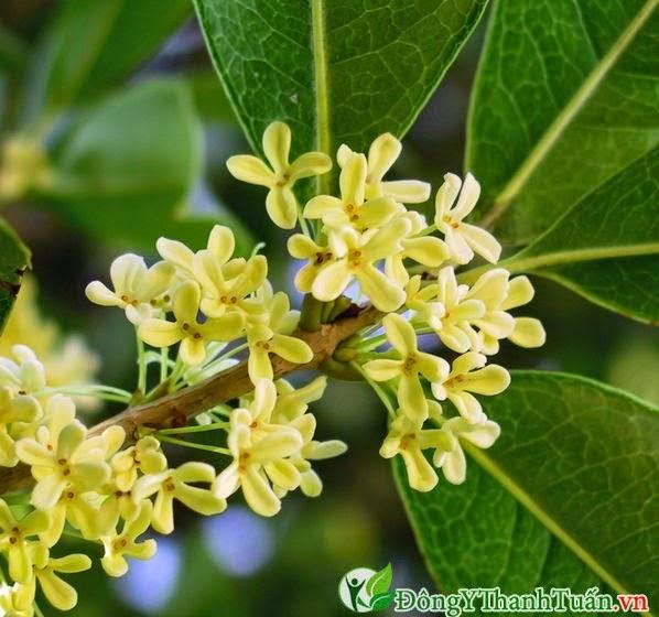 Mẹo chữa bệnh hôi miệng bằng hoa quế
