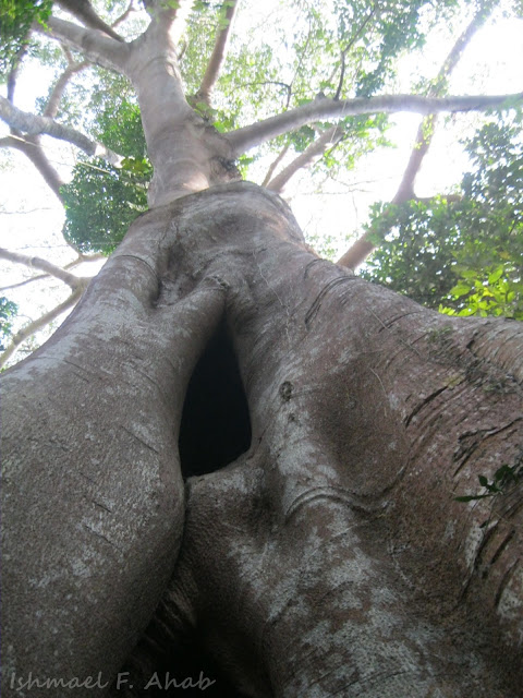 Giant tree of Phukhieo Wildlife Sanctuary