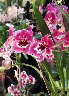 Pink orchid with pansy face