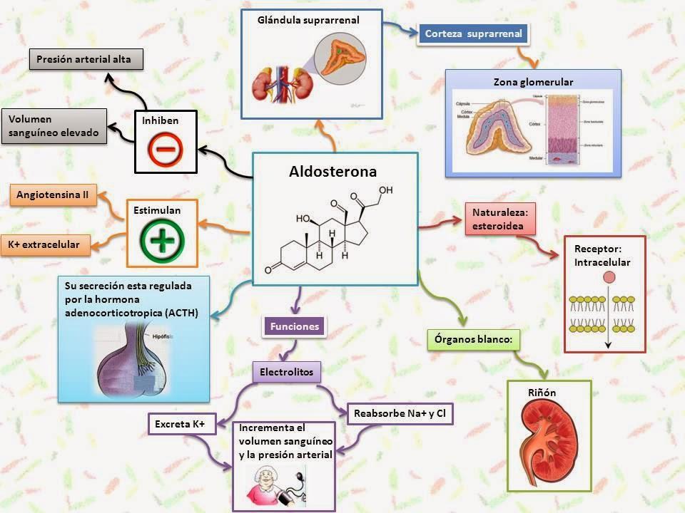 Magnífico Hormonas Producidas Por Las Glándulas Suprarrenales ...