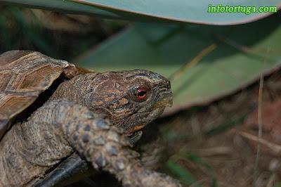 Pyxidea mouhotii - Tortuga caja carenada