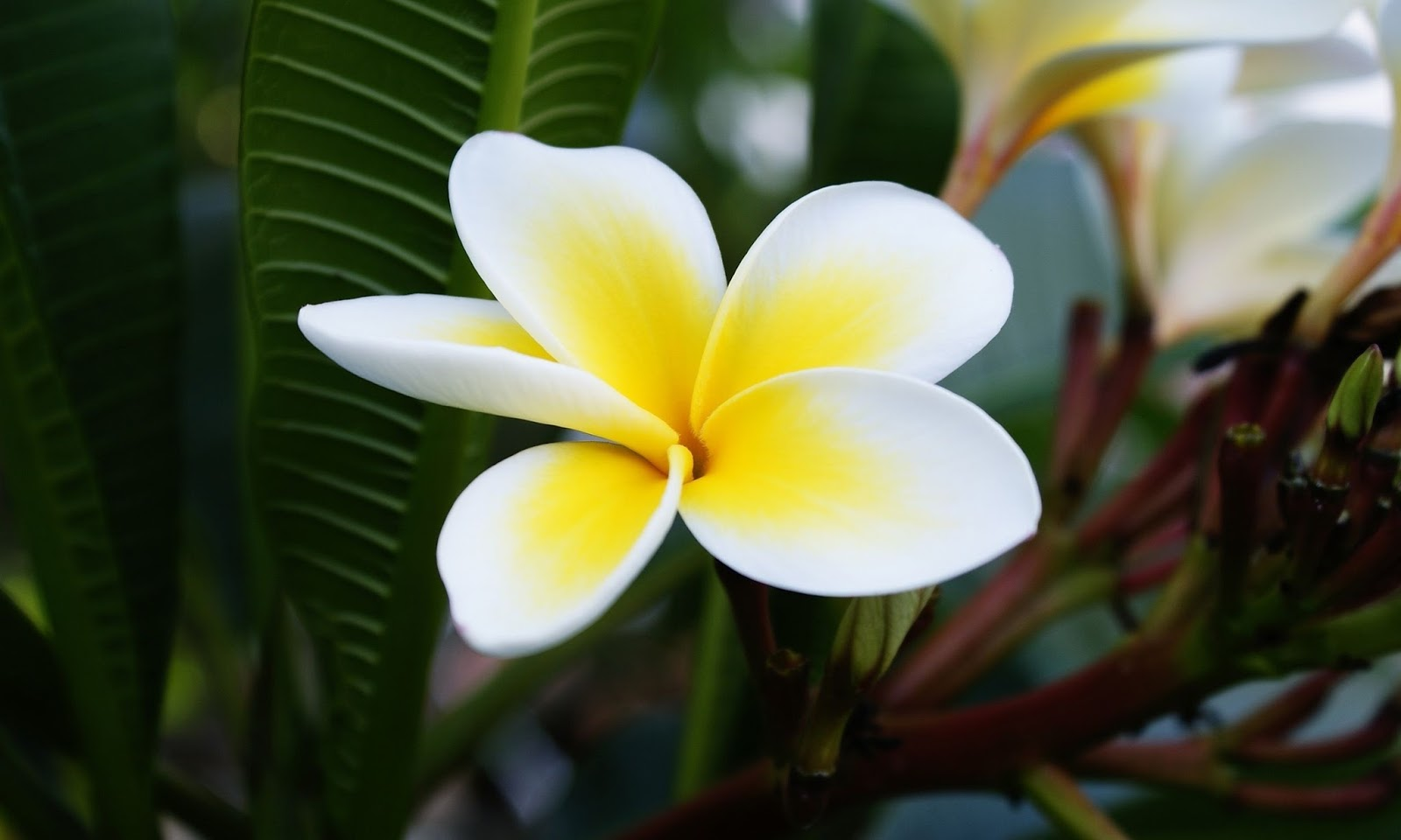 Plumeria frangipani hd wallpapers hd wallpapers high for 3d white flower wallpaper
