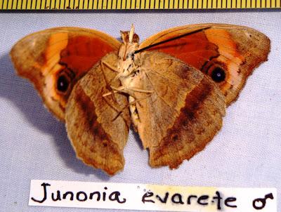Juniona evarete Nicaragua