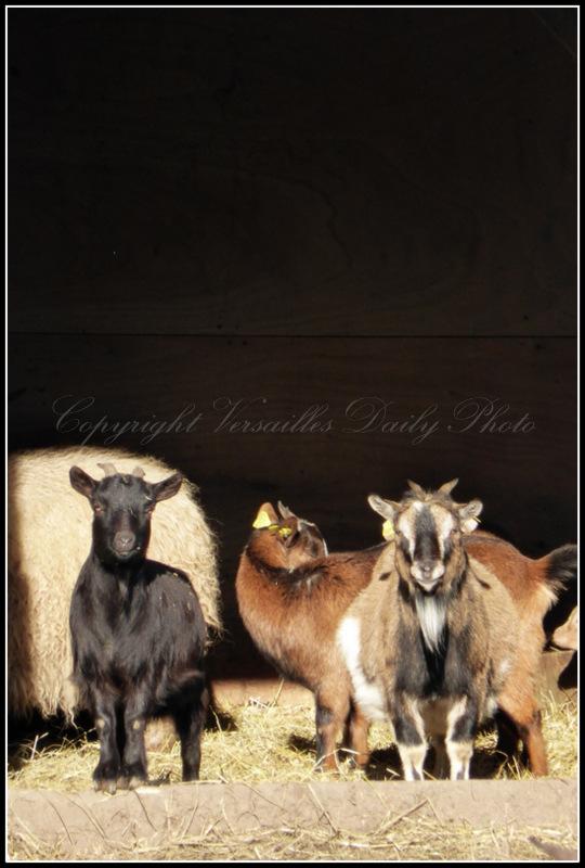 Goats Queen's hamlet Versailles