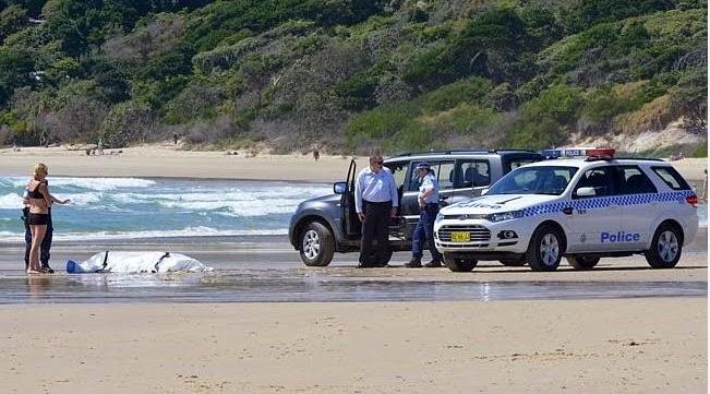 Elicottero Squalo : Reportages surfista ucciso da uno squalo bianco a byron