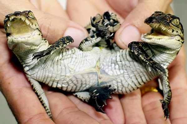 A twin Siamese Crocodile!