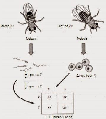 Diagram Punnet yang memperlihatkan penentuan jenis kelamin berdasarkan kromosom X dan Y