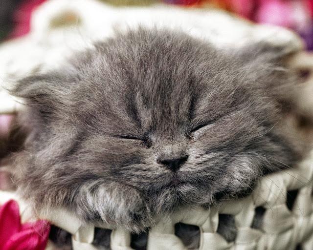 мордочка спящего котёнка