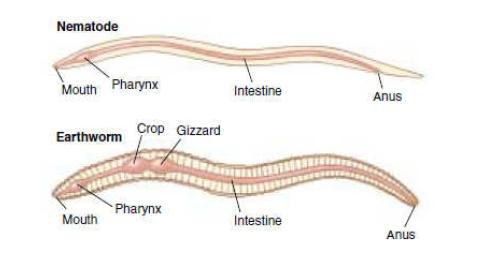 Sistem Pencernaan Pada Cacing
