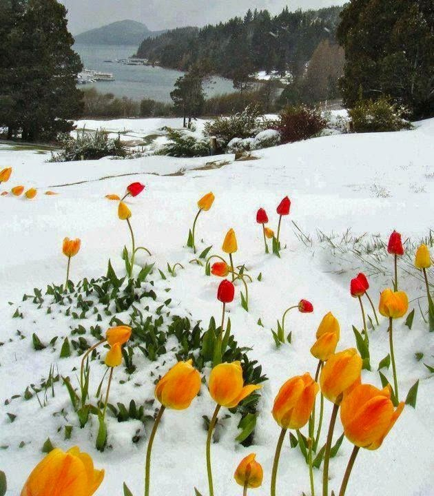 ảnh nền hoa tulip đẹp nhất
