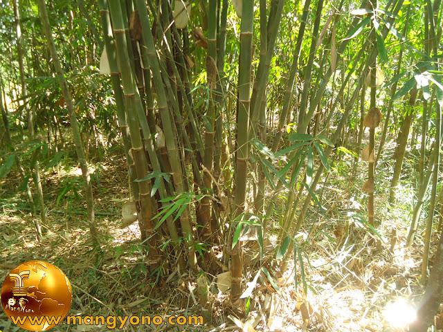 Bambu Ater / Awi Ater (Gigantochloa Atter)