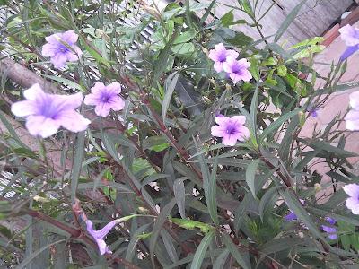 Hoa thạch thảo tím01