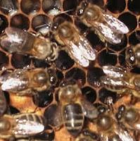 abejas meleras