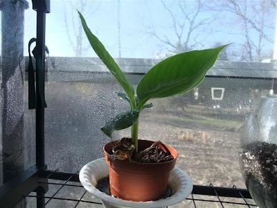 banana tree, greenhouse, winter, humid, hot, grow