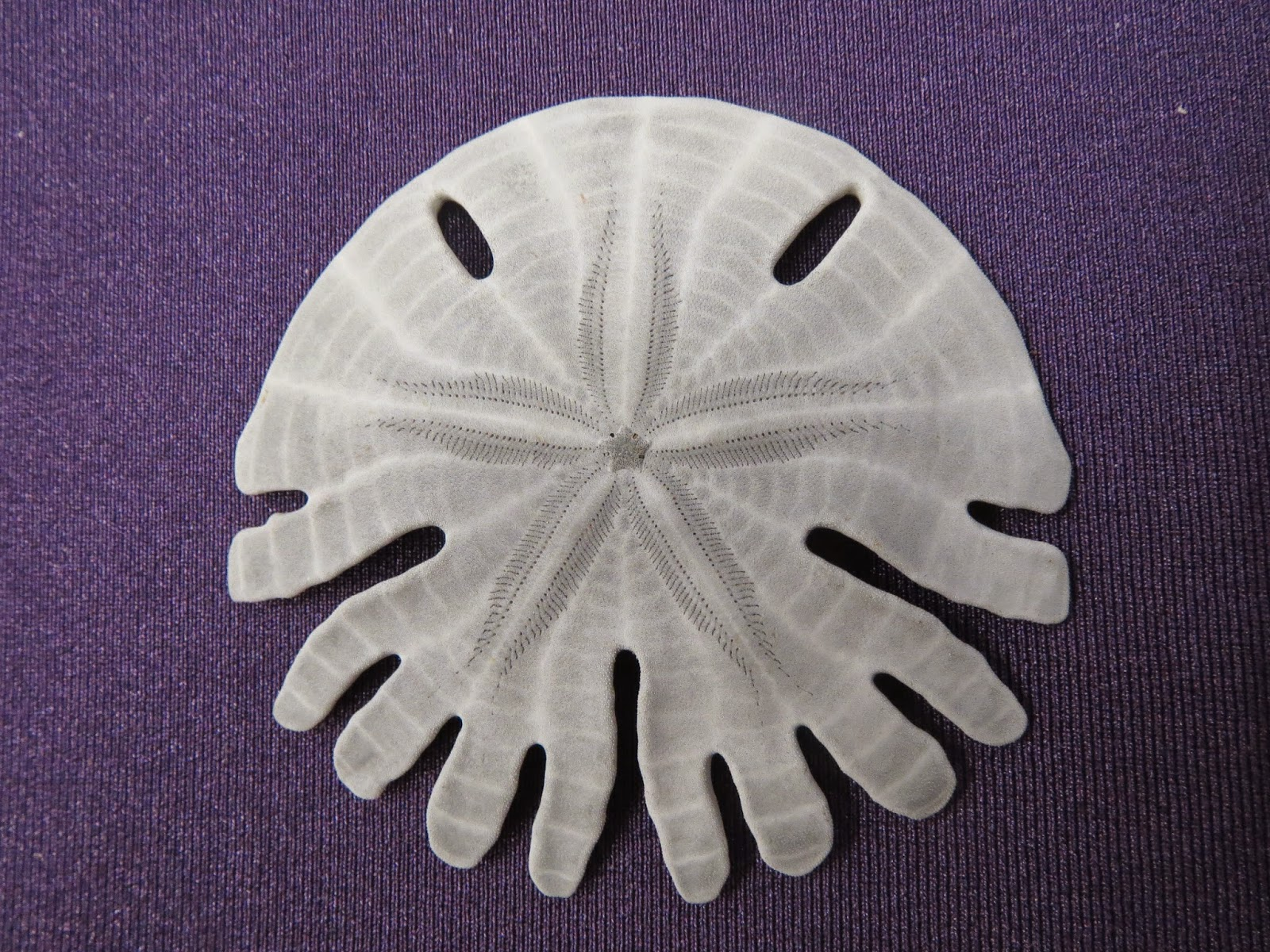 The Echinoblog: The Rotulidae: Strangest of the Sand Dollars