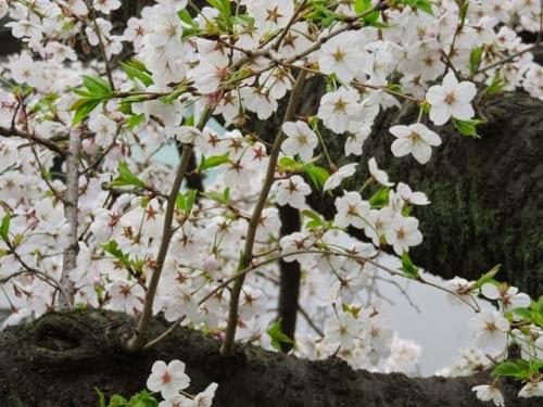 江戸川橋公園桜02