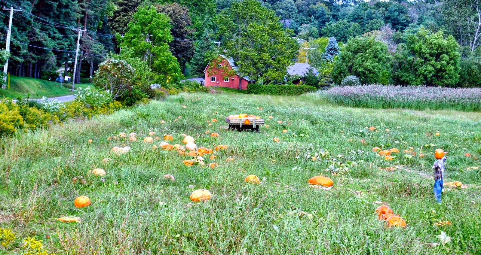 Country pumpkin field near Welland