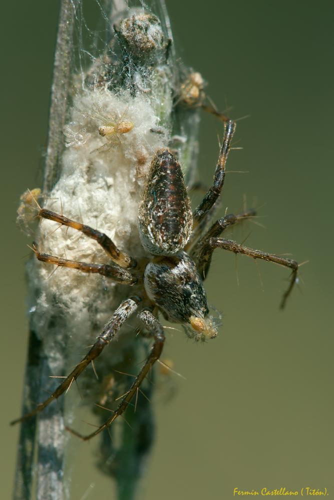 Araña y sus crías