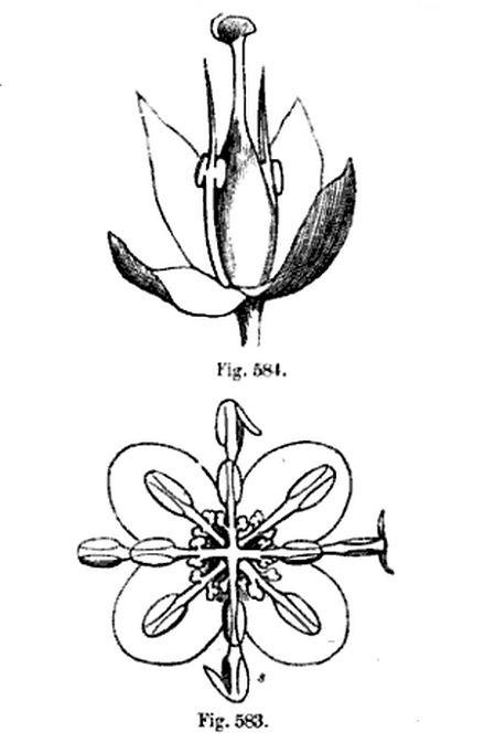 travelmarx  laurus nobilis  u2013 do i have a male or female plant