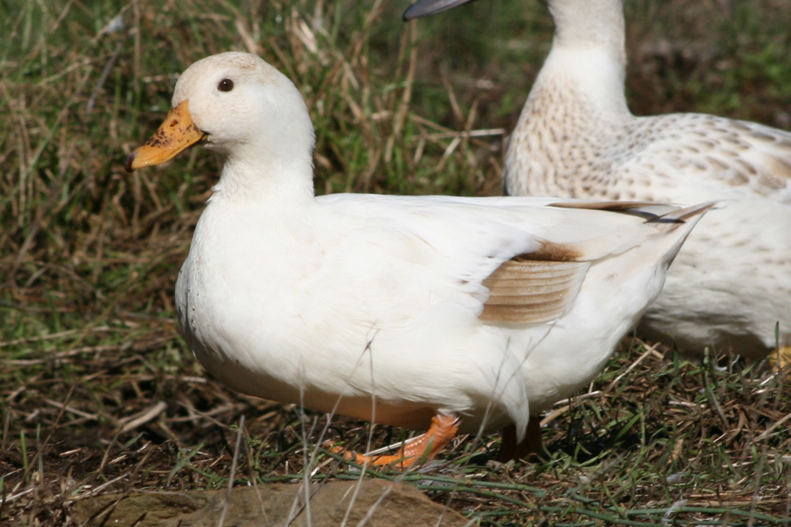 how to call ducks for beginners
