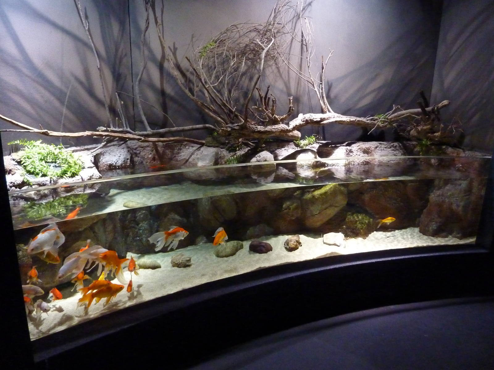 Goldfish Aquarium Design : Goldfish Aquarium Design Public aquarium in style and