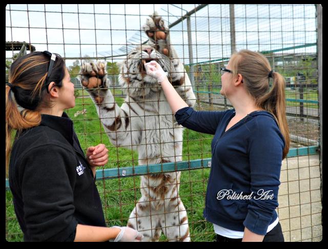 wildlife-heritage-foundation-narnia-white-tiger-big-cat-encounter