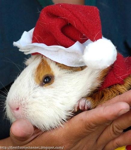 Christmas Guinea pig.