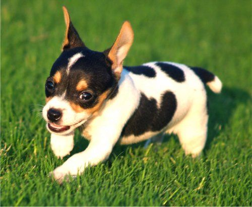 Adorable little Rat Terrier puppy