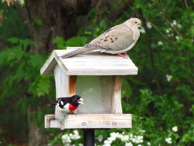 rose breasted grosbeak with mourning dove