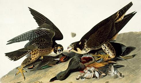 Ptice u srcu - Dzon Dzejms Odubon - Page 2 Odubon+03