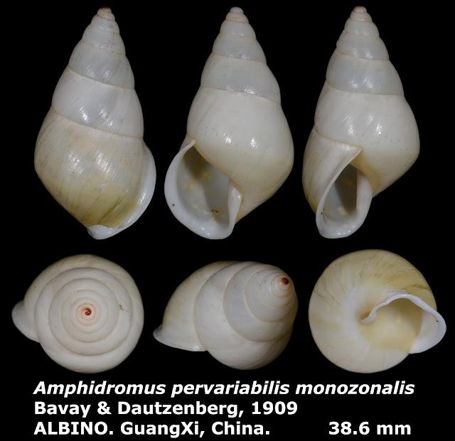 Amphidromus pervariabilis monozonalis 38.6mm ALBINO