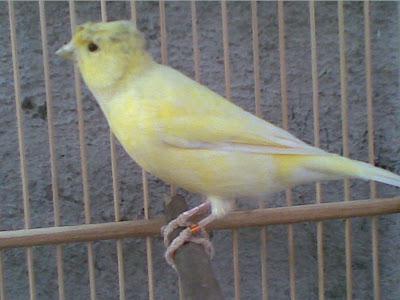 Gambar Burung Kenari Gloster
