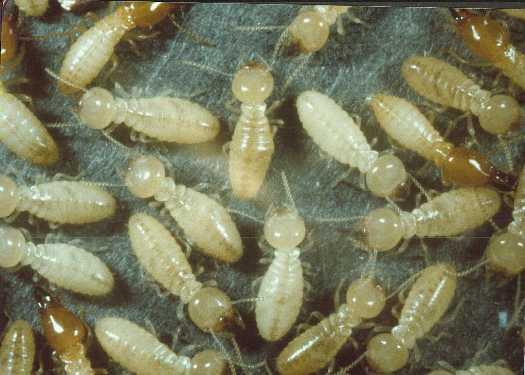 النمل الأبيض ربيع الخير