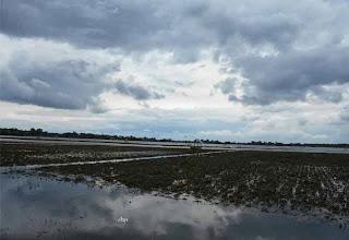 sawah rengel banjir