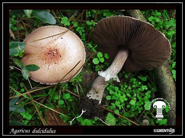 Agaricus dulcidulus