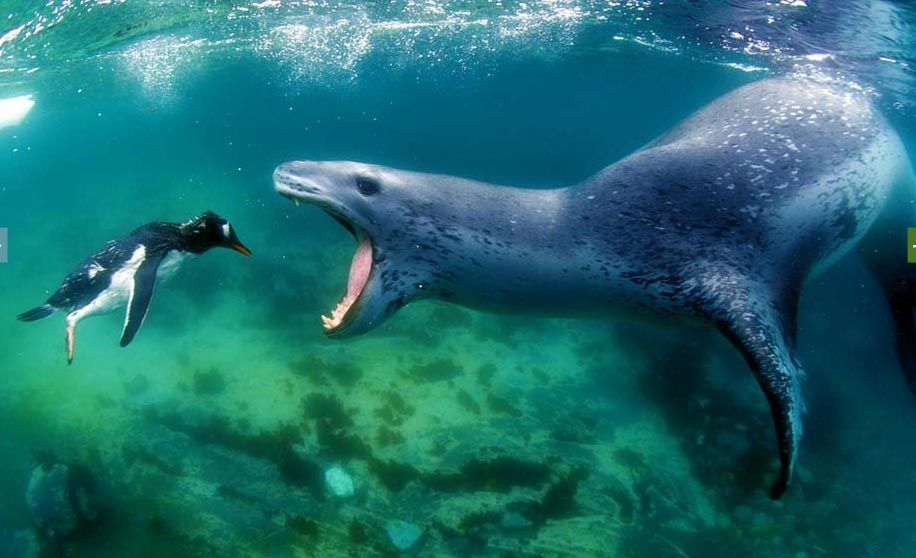 Leopard Seal with Gentoo Penguin