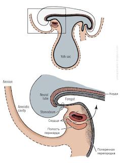 эмбриогенез диафрагмы. Исходное положение перикарда, сердца, части диафрагмы