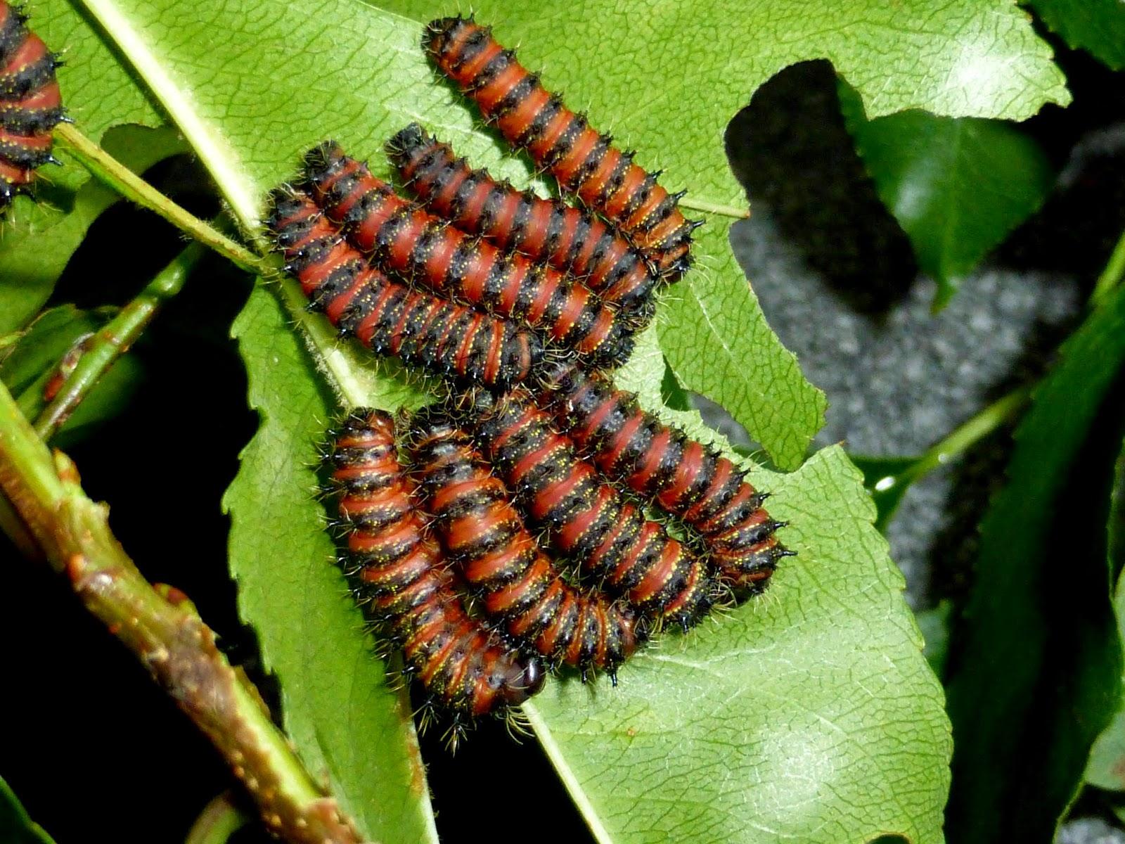 Nudaurelia Gonimbrasia krucki caterpillar