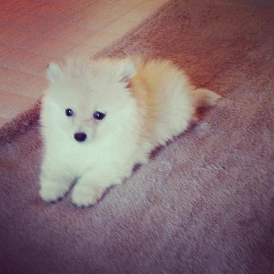 Cute Pomeranian Puppy high resolution